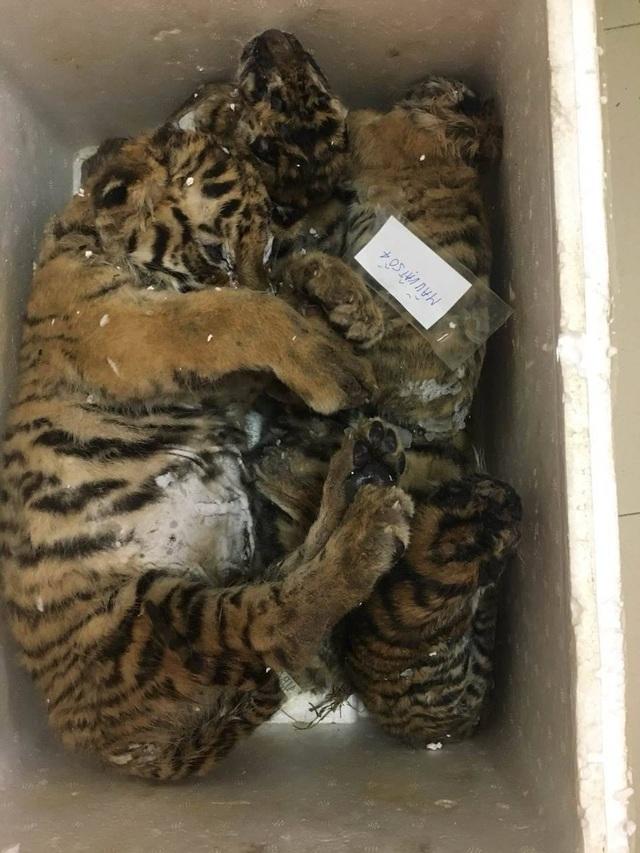 Hai trong số 5 cá thể hổ được phát hiện trên chiếc xe ô tô do Tiên điều khiển.