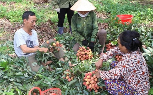 Thu hoạch vải thiều sớm tại huyện Lục Ngạn.