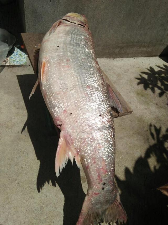 Con cá Măng 35 kg