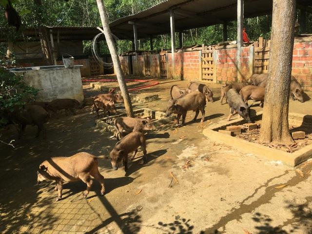 Đàn heo rừng của lão tỷ phú Trần Tiến ở trang trại cạnh pháp trường, mỗi năm cung cấp hơn 300 con giống cho nông dân