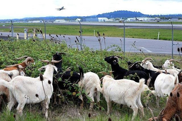 Những động vật thay người làm việc ở sân bay - 3