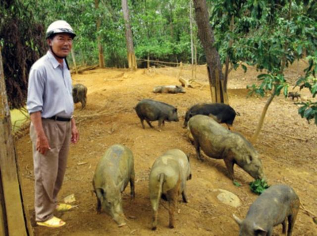 Lão Trần Tiến khùng đại gia bên đàn heo rừng đông đúc tại trang trại