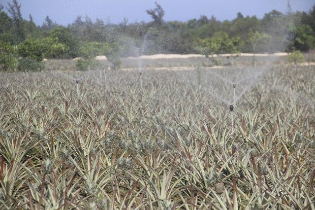 Cây dứa cũng sinh trưởng tốt ở nhiều địa phương của Quảng Trị, được áp dụng gần đây