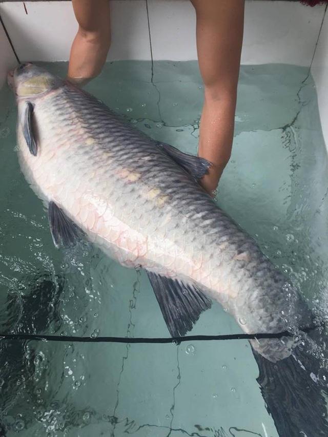 Bụng cá có màu trắng. Ngư dân đã bán con trắm với giá hơn 10 triệu đồng.