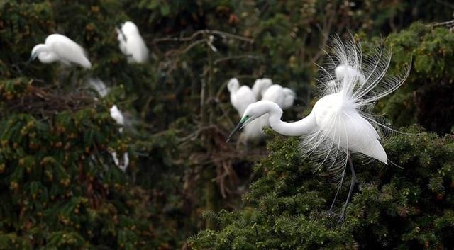Đàn diệc trắng trong một khu rừng ở Trung Quốc. Ảnh: Tân Hoa Xã./.
