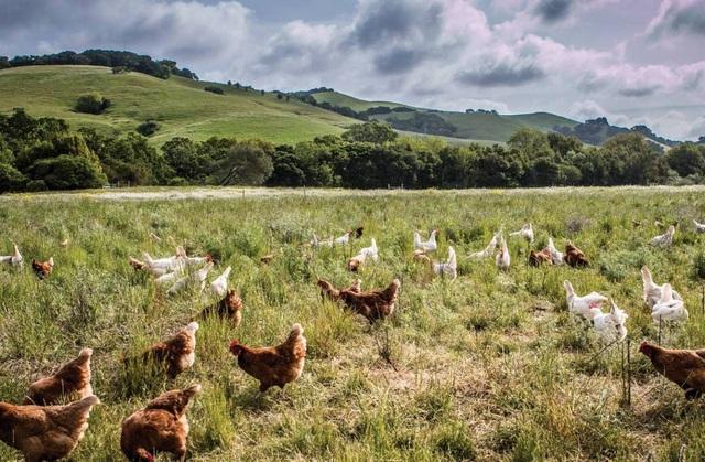 Từ 20 con gà thả đồi, ông Tây thu nhập hơn 2.200 tỷ đồng/năm - 1