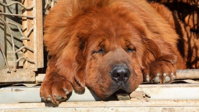 Một con chó ngao Tây Tạng ở miền Bắc Trung Quốc.