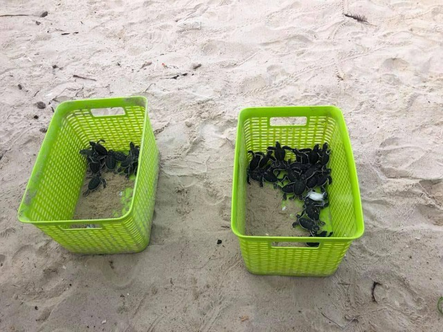 Những con rùa con vừa nở và chuẩn bị ra biển