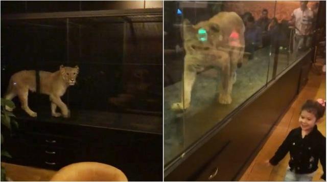 Clip sư tử bị nhốt trong lồng kính mua vui cho khách gây tranh cãi - 1