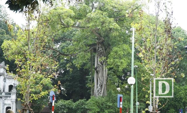 Cây phong mệt mỏi héo hon trước đền Quán Thánh. Hình ảnh ghi nhận vào sáng 12/7.