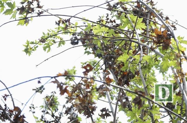 Rất nhiều lá cây phong tại đây đã vội vã đổi màu dù còn rất lâu mới tới mùa thu.
