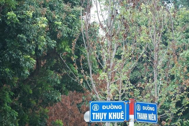 Rất nhiều cây phong lá đỏ héo rũ tại góc đường Thụy Khuê - Thanh Niên. Nhiều người dân khu vực xác nhận, dấu hiệu cây phong lá đỏ héo hon đã xuất hiện từ trước đợt nắng nóng kéo dài...