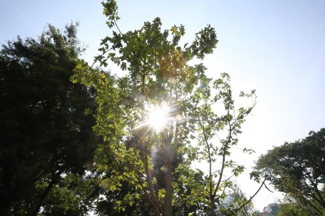 Trồng phong lá đỏ nằm trong chủ trương của TP Hà Nội về chương trình một triệu cây xanh giai đoạn 2016-2020. Toàn thành phố đã trồng được khoảng 500.000 cây, góp phần xây dựng môi trường xanh, cải thiện không khí và tạo cảnh quan đô thị. Những loại cây mới được đưa vào trồng gồm phong lá đỏ, hoa ban, long não, cọ dầu, chà là, giáng hương...
