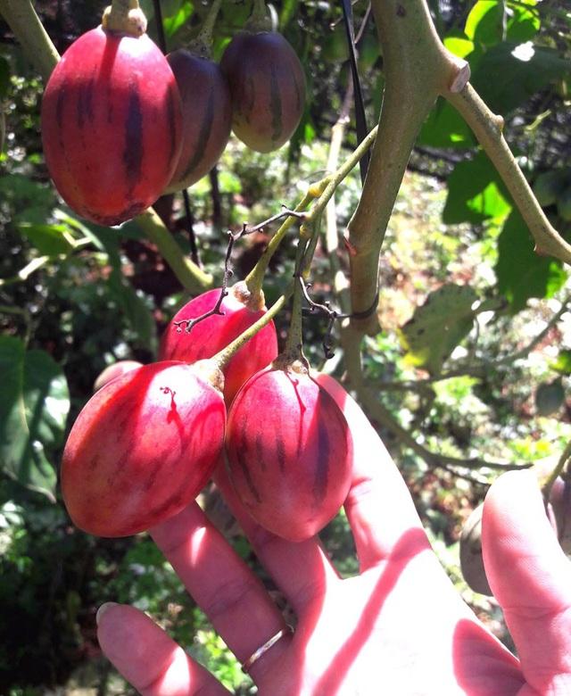 Cây trồng từ 8-12 tháng sẽ đâm hoa kết trái. Năm đầu có thể đạt sản lượng từ 30-40 kg/cây. Cây vào những năm sau sẽ càng to, càng năng suất.