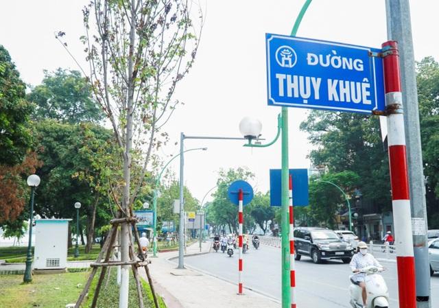 Khoảng 20 cây phong lá đỏ được trồng tại nút giao đường Thanh Niên – Thụy Khuê, nhưng có đến gần 10 cây đang ở trong tình trạng lá héo rũ.