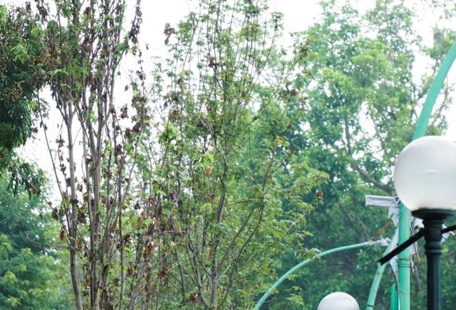Phong lá đỏ là loại cây thuộc xứ lạnh, có chiều cao 6-7m và đường kính thân khoảng 25 cm. Việc xuất hiện của loại cây này trên đường phố Hà Nội khiến người dân thích thú và mong chờ. Trong khi đó, nhiều người không khỏi hoài nghi khả năng thích nghi của loài cây này tại Hà Nội.