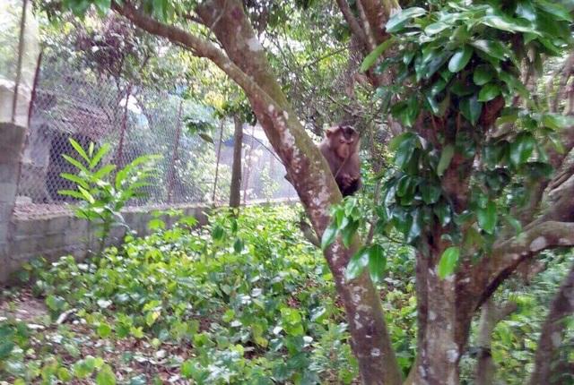 Con khỉ đực hung dữ vẫn lẩn trốn trong khu vực phường Tân Lập