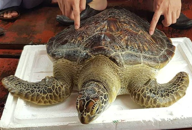 Con rùa biển quý hiếm nặng 22kg mắc lưới ngư dân vừa được thả về biển.