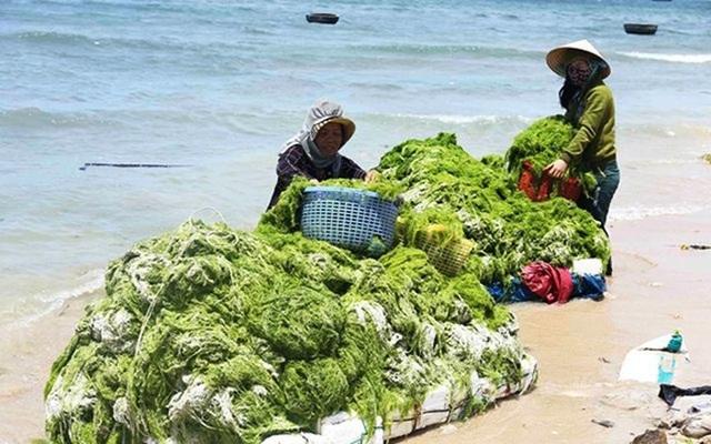 Người dân thôn Sơn Hải, xã Phước Dinh, huyện Thuận Nam dùng lưới tạo thành những chiếc bè vớt rong biển mang vào bờ với số lượng bình quân mỗi người vớt được 100kg mỗi ngày. (Ảnh: Nhân Dân)
