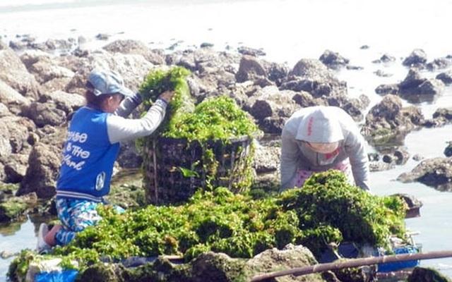 Rong biển là nguồn lợi thủy sản tự nhiên của biển, có rất nhiều ở vùng biển Sơn Hải từ bao đời nay. (Ảnh: ninhthuantourist)