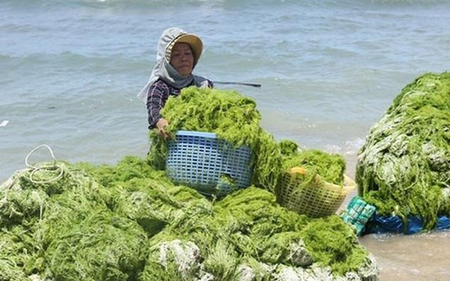 Đi vớt rong biển mang đi phơi khô rồi bán cho thương lái với giá 3.000 đồng/kg cung ứng cho những cơ sở trong và ngoài tỉnh sử dụng chế biến thức ăn gia súc, phân bón vi sinh. (Ảnh: kt)