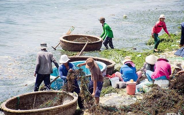 Nghề vớt rong biển giúp người dân cải thiện đời sống, tăng thêm thu nhập./. (Ảnh: báo Ninh Thuận)