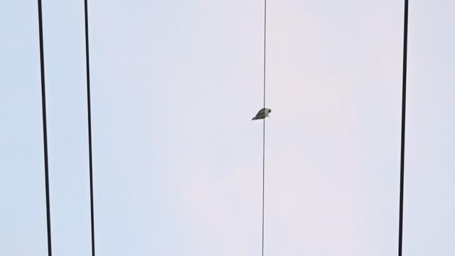 Chú chim cắt lưng xám chân có buộc dây vướng vào dây điện nên bị mắc kẹt suốt 3 ngày