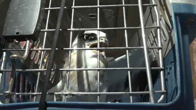 Chú chim cắt lưng xám còn rất khỏe sau 3 ngày mắc kẹt