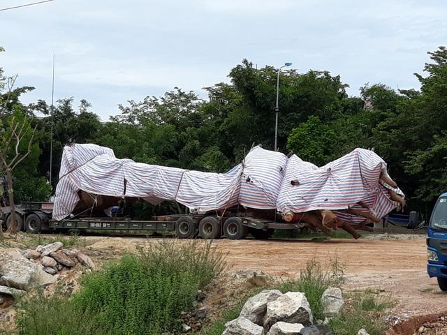 Lực lượng chức năng tỉnh Quảng Ngãi đang tạm giữ xe chở cây khủng thiếu giấy phép lưu hành đặc biệt