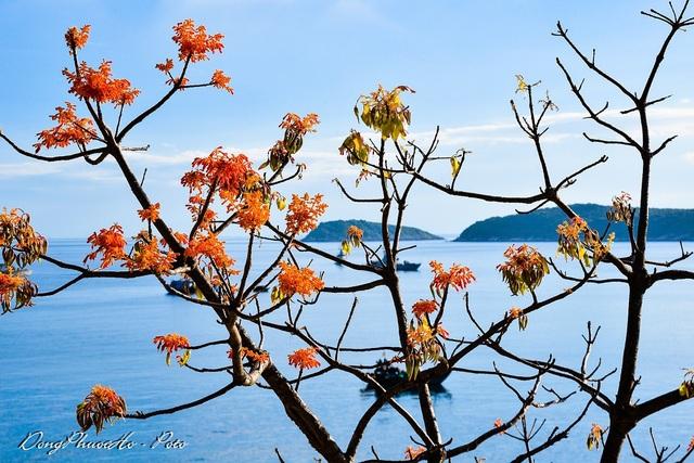 Cù Lao Chàm rực rỡ sắc hoa ngô đồng vừa chớm nụ - 7
