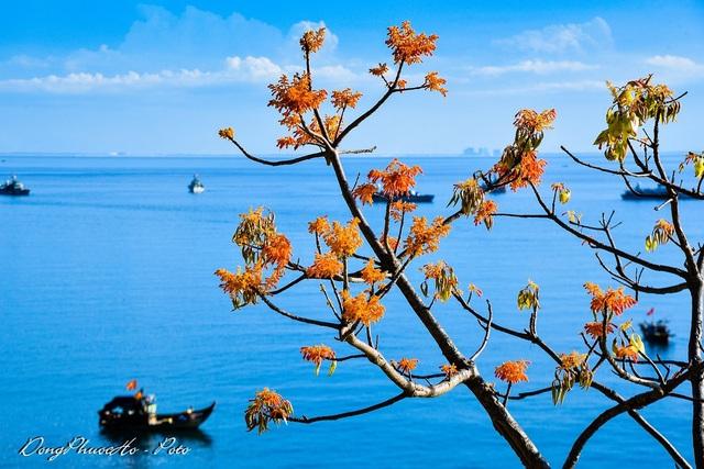 Cù Lao Chàm rực rỡ sắc hoa ngô đồng vừa chớm nụ - 5