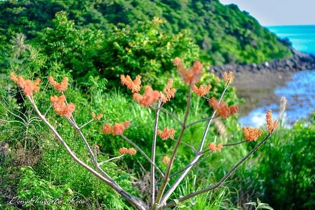 Cù Lao Chàm rực rỡ sắc hoa ngô đồng vừa chớm nụ - 6