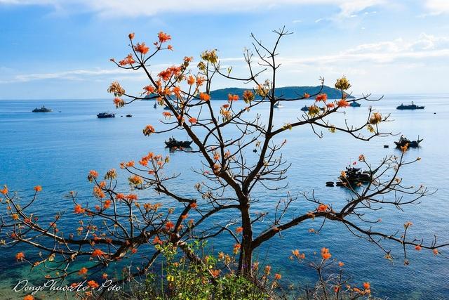 Đảo Cù Lao Chàm rực rỡ sắc hoa ngô đồng