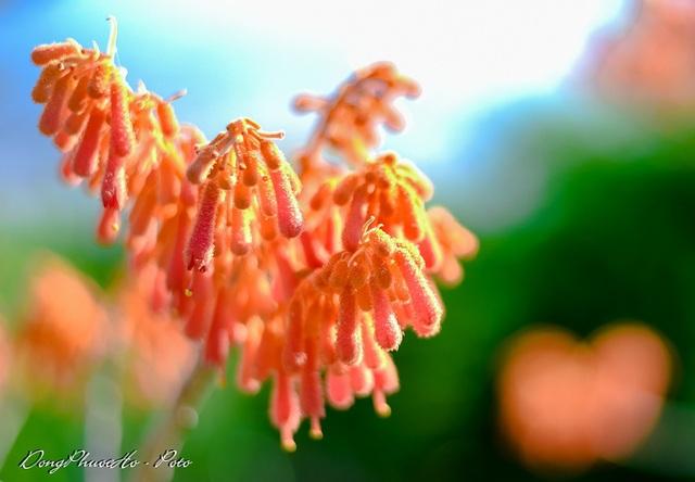 Cù Lao Chàm rực rỡ sắc hoa ngô đồng vừa chớm nụ - 4