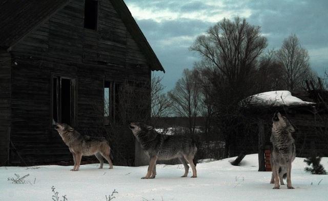 Vùng nhiễm phóng xạ Chéc-nô-bưn bảo tồn cho loài sói xám sinh sôi nảy nở - 1