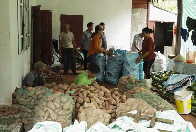 Ngoài dưa hấu, gia đình bà Loan cũng phải thu hoạch sớm nhiều tấn khoai lang, chịu thiệt hại về năng suất và giá bán.