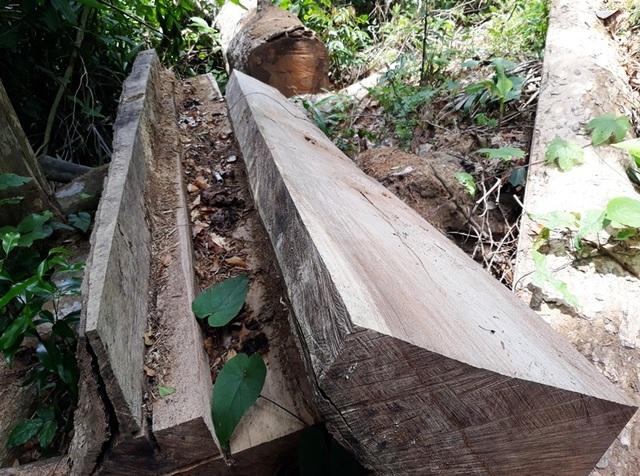 Nhiều cây gỗ đã được lâm tặc cưa thành phách chuẩn bị vận chuyển thì bị phát hiện (ảnh minh họa).