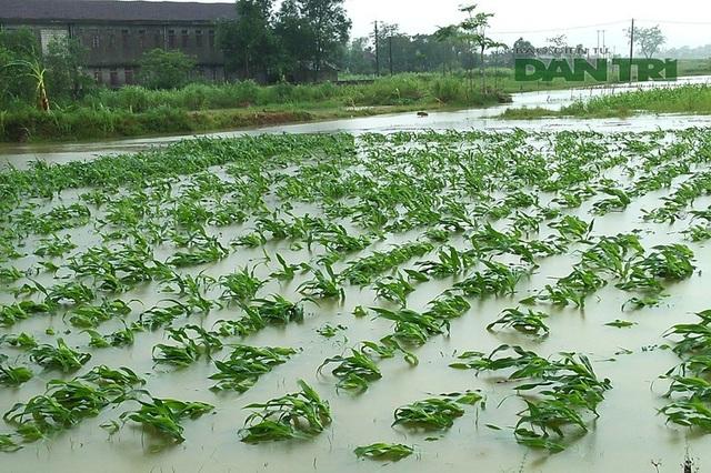 Nhiều diện tích hoa màu, ngô bị nước nhấn chìm. Theo báo cáo của UBND xã Sơn Tiến, gần 100 ha lúa hè thu, 45 ha đậu xanh, 40 ha ngô vẫn bị chìm trong biển nước.
