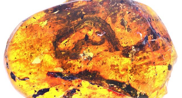 Rắn con 100 triệu năm tuổi được tìm thấy ở Myanmar - 1