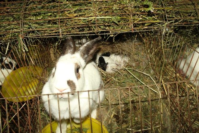 Cứ 2 tháng thỏ mẹ đẻ 1 lứa, mỗi lứa đẻ từ 8 – 12 con (1 năm 5 lứa), khiến số lượng thỏ trong trang trại của anh Dũng tăng rất nhanh, thu về lợi nhuận cao