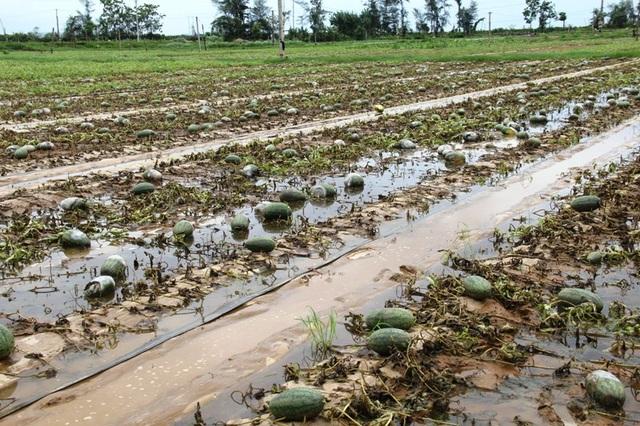Cánh đồng 40 ha dưa hấu bị thối rữa do mưa bão.