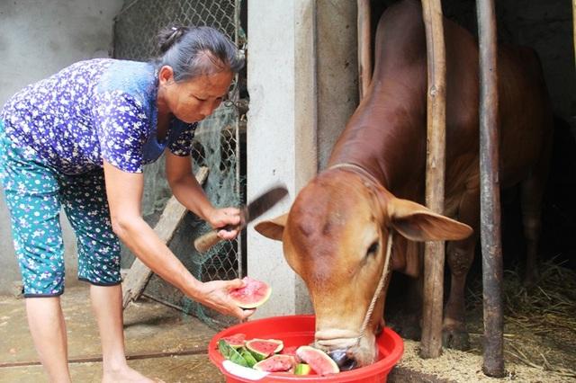 Người dân ngậm ngùi đem dưa làm thức ăn cho trâu, bò.