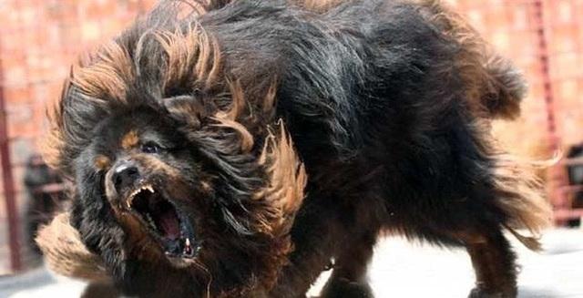 Vụ việc con chó ngao Tây Tạng cắn chết cháu bé 8 tháng tuổi ở đội Cấn gây hoang mang dư luận.