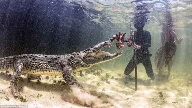 """Để những con cá sấu """"vui vẻ, dễ chịu"""", thợ lặn phải cho chúng ăn cá liên tục."""