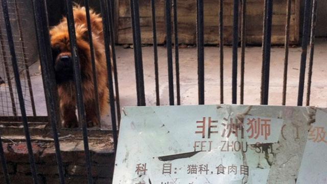 Một vườn thú ở Trung Quốc hô biến chó ngao Tây Tạng giả làm sư tử, với tấm biển bên ngoài đề Sư tử châu Phi