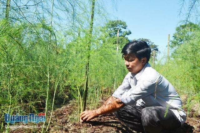 Anh Bùi Duy Quốc chăm sóc vườn măng tây.