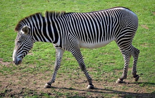 Đây là ngoại hình của một chú ngựa vằn đích thực