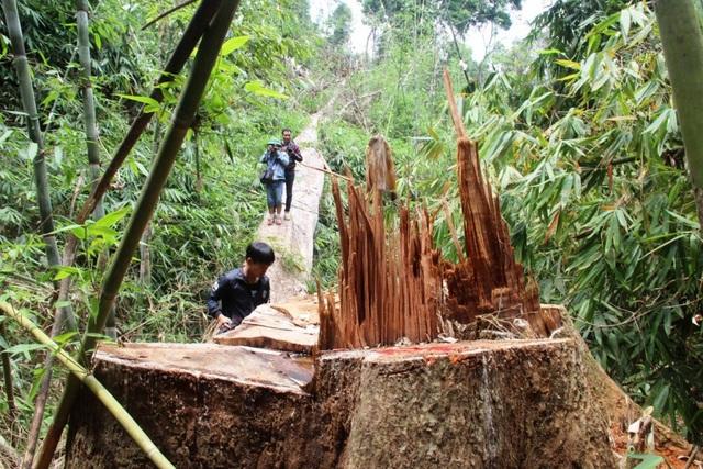 Hiện trường vụ phá rừng lim xanh ở Nam Giang