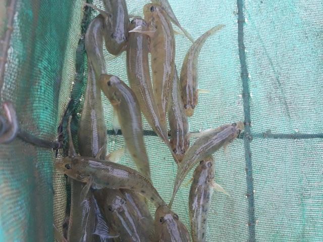 Cá bống sông Trà Khúc khá thơm ngon nên giá mỗi kg có giá dao động từ 200 - 300 ngàn đồng
