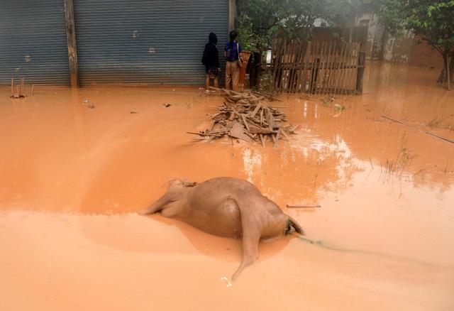 Xác động vật như trâu bò trôi dạt giữa dòng nước bùn.